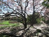 magnolia in niagara parks