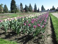 tulips in Niagara Parks