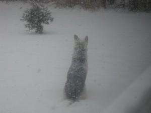 Husky_in_snow