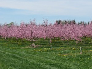 Fruit Trees in Blossom
