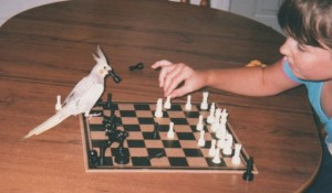 cockatiel playing chess