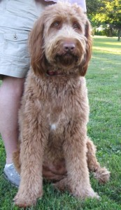 Tommy's Golden Doodle, Rusty